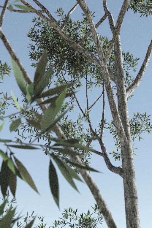 eucalyptus tree plantation