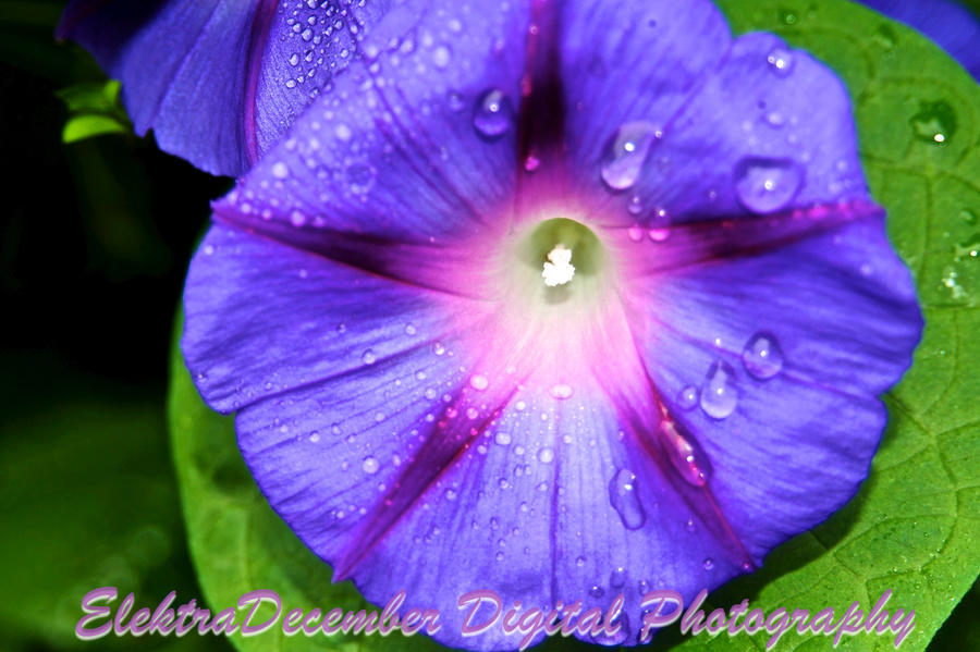 juliet's purple star flower by elektradecember on deviantart, Beautiful flower