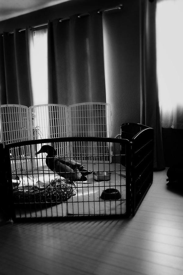 Just a duck in his pen by kedralynn