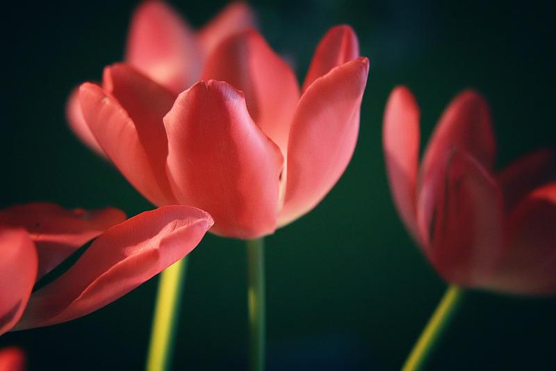 Tulip Study 2 by kedralynn