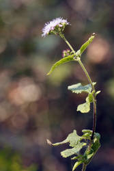 Blue Mistflower by RustyRoot