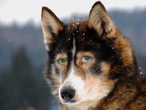 Facemix - Wolf