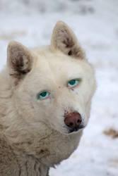 Facemix - White Wolf