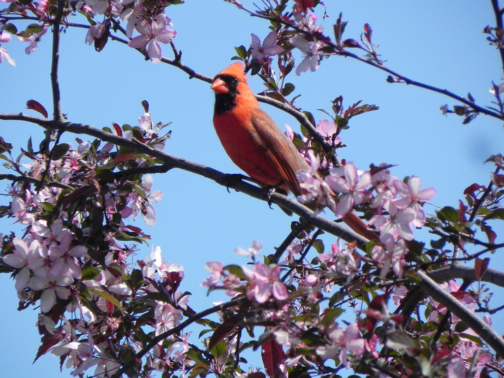 Cardinal by Yggdrassal