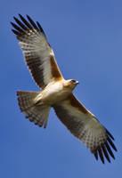 Australian Little Eagle? by no-soap-was-harmed