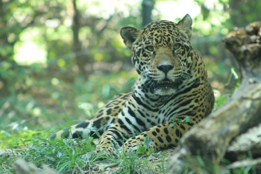 Jaguar Stock Photo 2