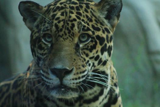 Jaguar Stock Photo 19