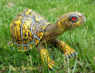 Earl the Eastern Box Turtle by ART-fromthe-HEART