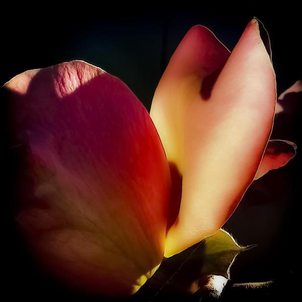 La rosa enflorece by mauflus