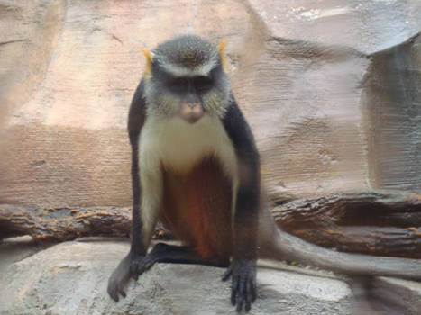 Wolf's Mona Monkey