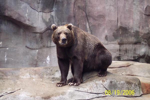 Brown Bear -2-