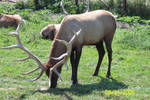 Elk -1-