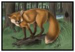 -Red Fox-