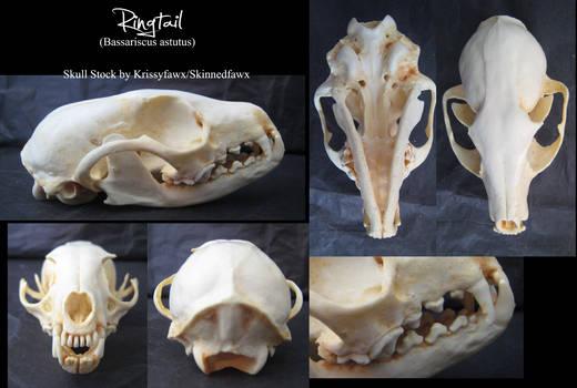 Skull Stock: Ringtail by Krissyfawx
