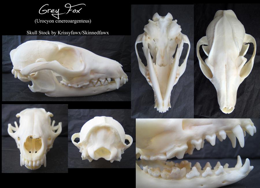 Skull Stock Grey Fox By Krissyfawx On Deviantart