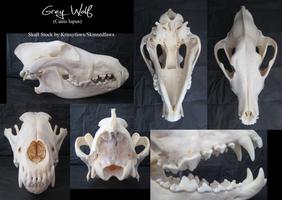 Skull Stock: Grey Wolf by Krissyfawx