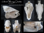 Skull Stock: Javelina