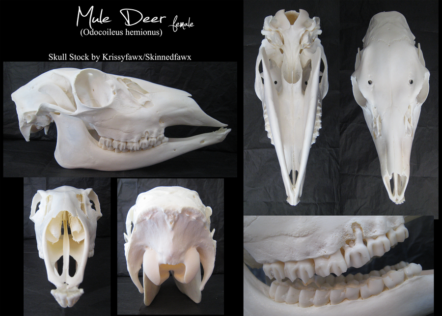 Since your skull doesn't have this, we can rule out deer easy. The ... Mule Deer European Mount