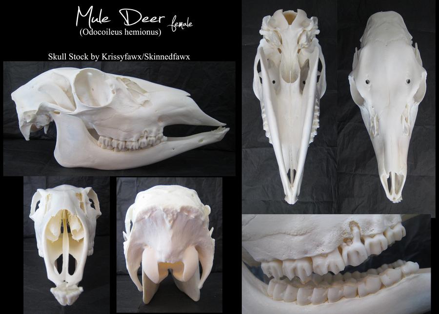 Skull Stock: Mule Deer Doe by Krissyfawx on DeviantArt