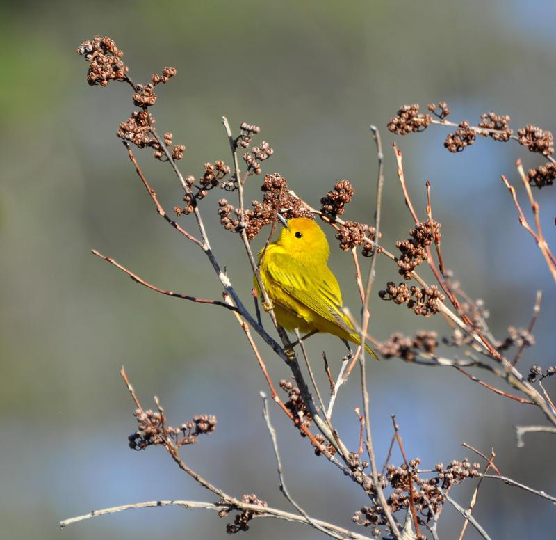Yellow Warbler Male Gleaning Bugs by FlowerFreak