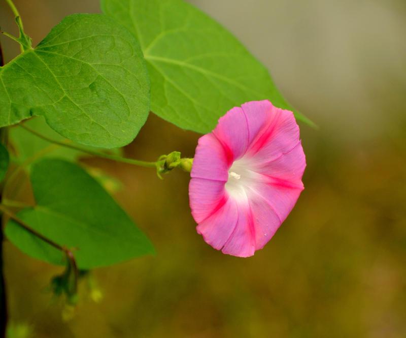 Pink Star by FlowerFreak