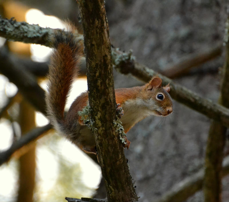 red squirrel at Highland Nature Reserve by FlowerFreak