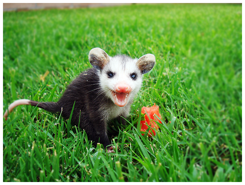 Baby Opossum by