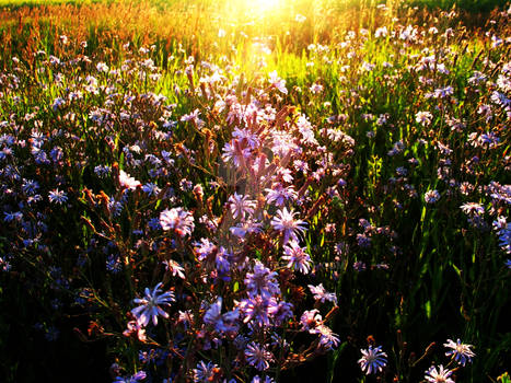 Field of Aster