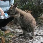 Thirsty Ms Wallaby