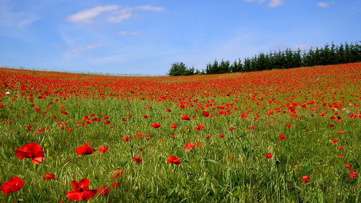 Pin poppy fields on pinterest