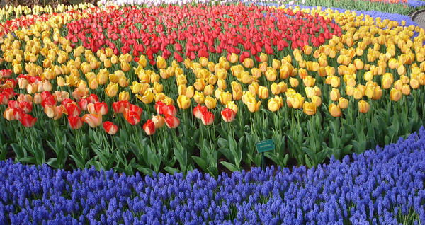 Ring of Tulips by Bex-Da-T-Rex