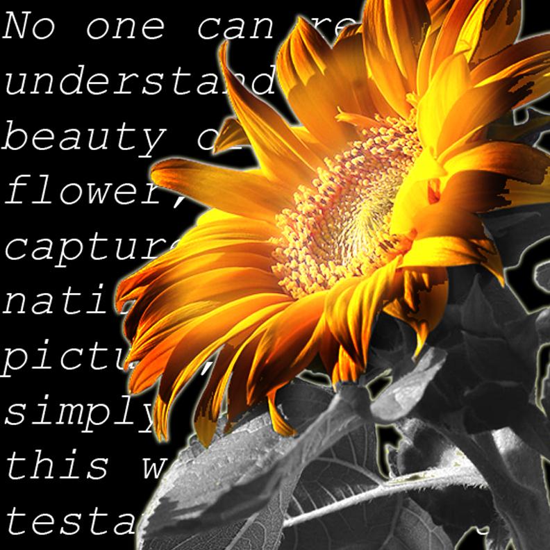 Sunflower by Piklom