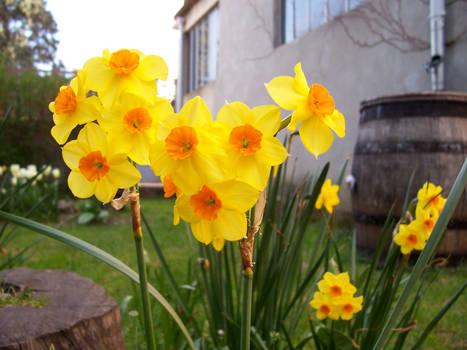 Yelloy daffodils