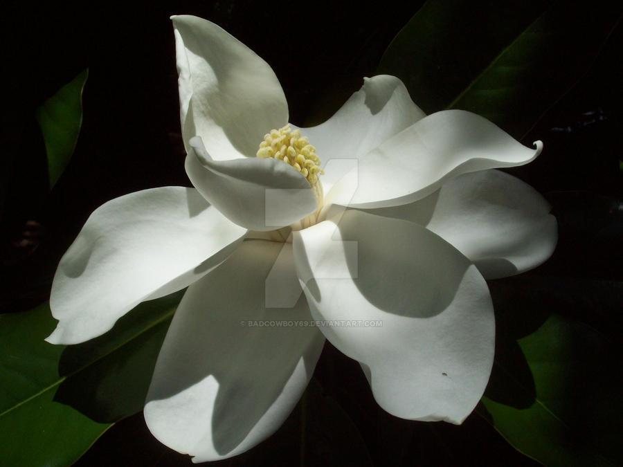 White Magnolia Flower by BadCowboy69 on DeviantArt