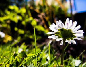 Daisy Days 2