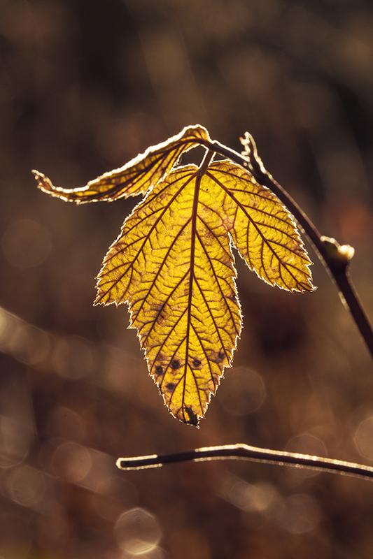 Leaf by Laazeri