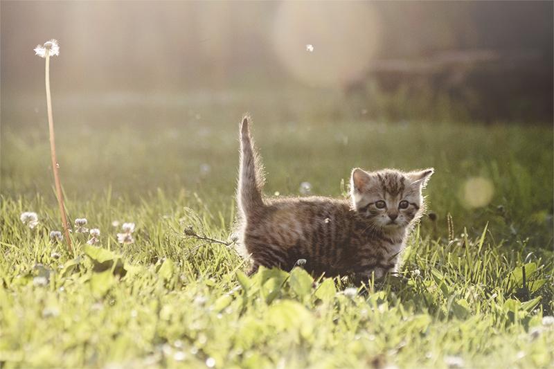 Kitten by Laazeri