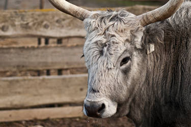 Portrait of a gray cow by PeterTakacs