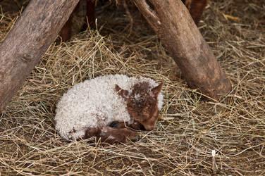 Sleeping little lamb by PeterTakacs