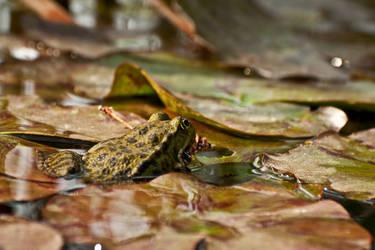 Frog inside a lake by PeterTakacs