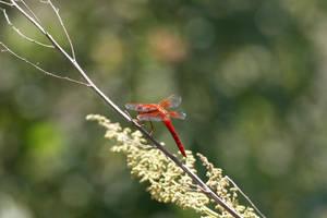 Dragonfly by lM-BATMAN
