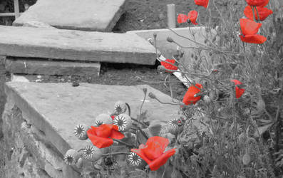 Poppies by farso