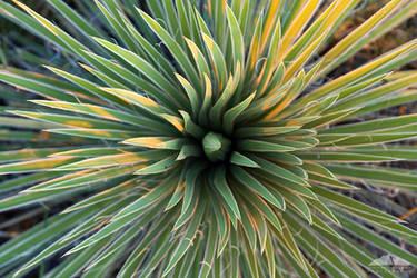 Yucca Movement by yenom