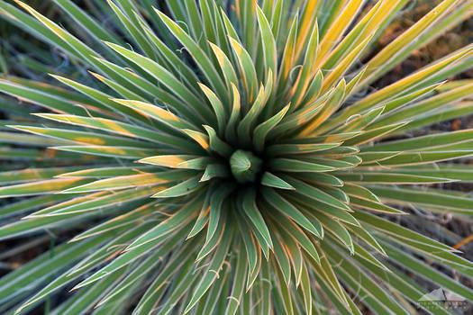 Yucca Movement