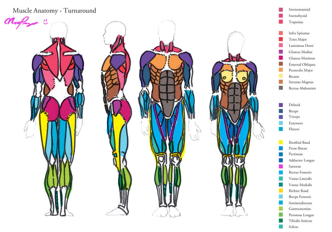 Muscle Anatomy Turnaround By Heartgear On Deviantart
