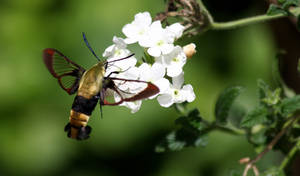 Bee Hawk Moth....ahh er...Snowberry Clearwing