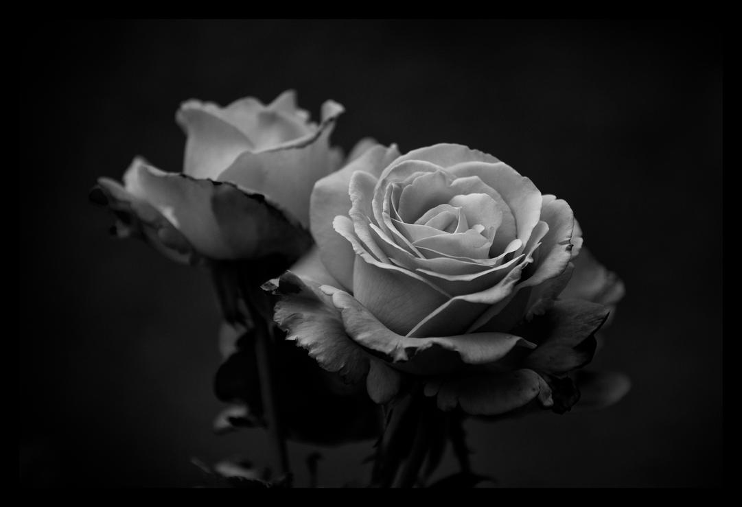 black 39 n 39 white roses by sloorth on deviantart. Black Bedroom Furniture Sets. Home Design Ideas