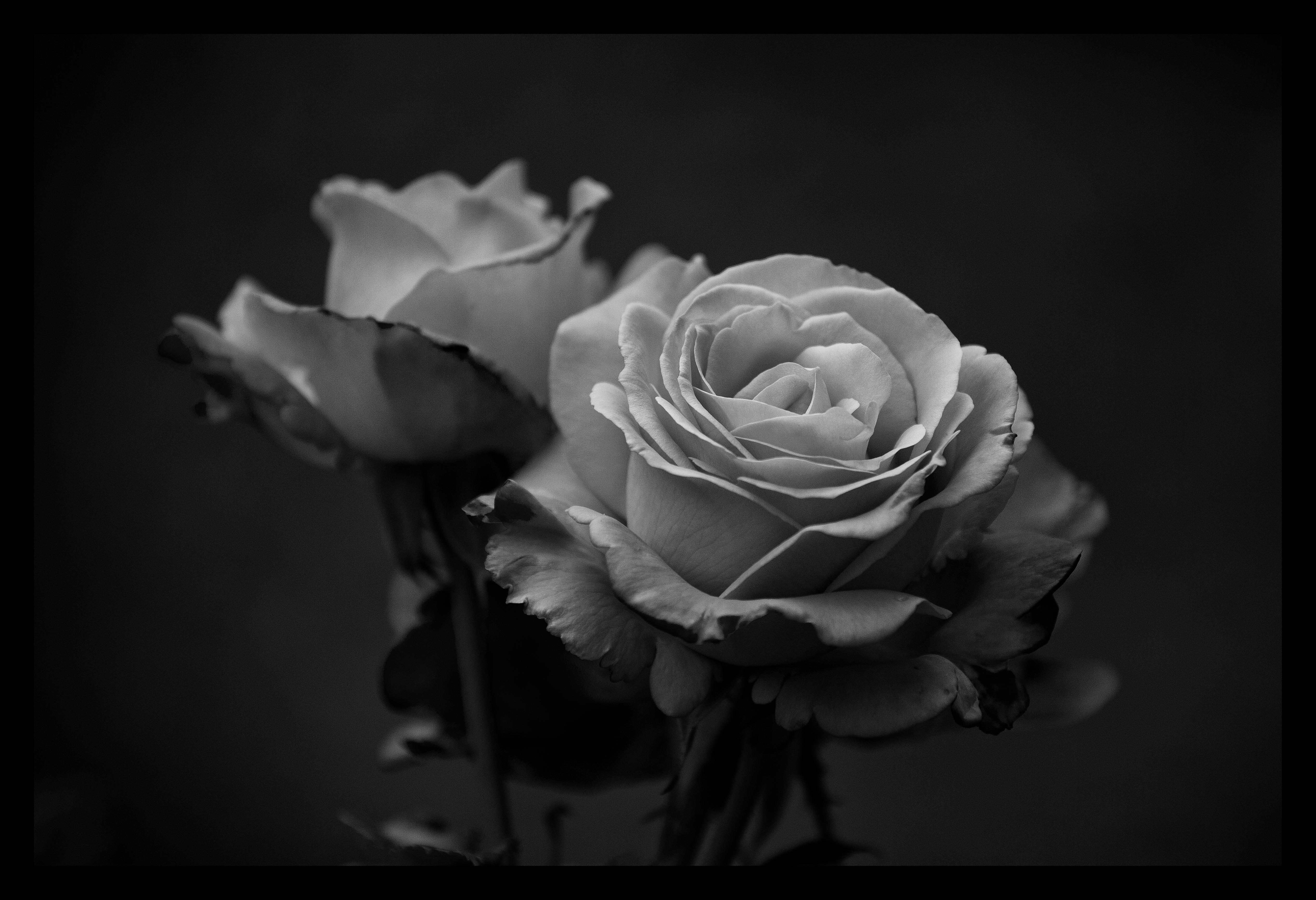 Blacknwhite Roses By Sloorth On Deviantart
