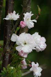 Cherry is blooming again