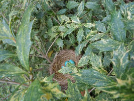 birds nest Robin